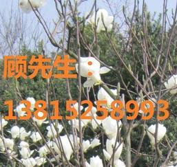 苏州造型黄杨,香樟树,苏州别墅绿化苗木基地