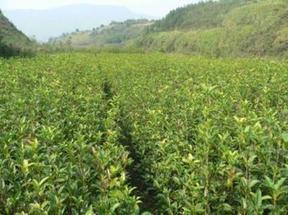 河南园林绿化苗圃基地供应桂花、四季桂、金桂