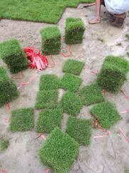 常年广西南宁低价供应马尼拉草、地被绿化苗木