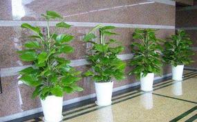 广州植物租赁:植物给您带来氧气