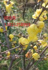 苏州光福香雪苗木市场苏州庭院景观设计、绿化公司、景观树厂家、苗木批发厂家