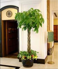 室内外大盆栽发财树