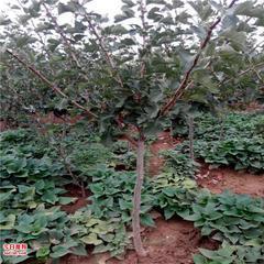 占地绿化山楂树梨树