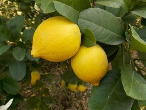 无核香水柠檬苗