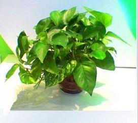觀葉植物出租,武漢觀葉植物出租