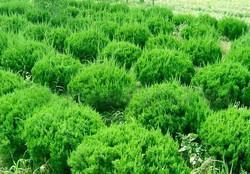 供应;铺地柏、沙地柏、龙柏球、 花柏球等绿化苗木