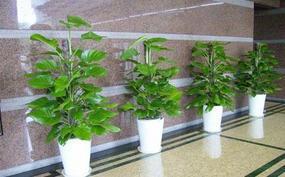 广州植物租赁摆放在室内能有多大的好处