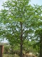 本基地长期大量销售各种规格银杏绿化苗木