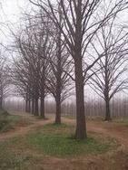 利国银杏苗木园艺中心长期销售各种规格银杏苗木