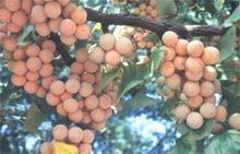 宏宇银杏苗木专供2-80cm银杏银杏树银杏果