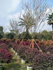 成都红花继木批发、红花继木价格