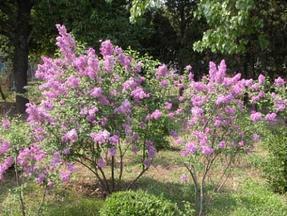 落叶灌木紫丁香、巨紫荆、早樱、花石榴、百日红、木绣球、木芙蓉