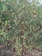 杏树苗梨树苗供应