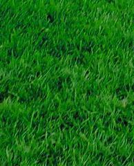 内蒙古绿化草坪 高尔夫草坪厂家