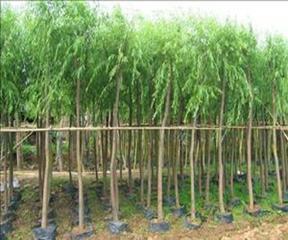 30公分垂柳价格35公分柳树价格10-25公分馒头柳在线价格