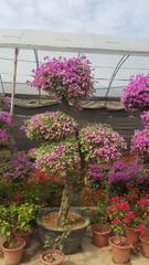 广州苗木造型三角梅、花叶三角梅
