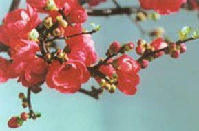 日本海棠花 盆景长寿果苗