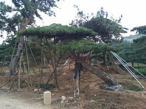 莱芜供应10公分到50公分造型松树
