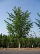 本基地现有大量8-30公分银杏实生苗,嫁接苗