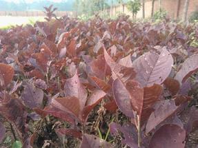 紫叶稠李,红叶李,五角枫,金叶复叶槭,王族海棠