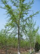 银杏绿化苗木