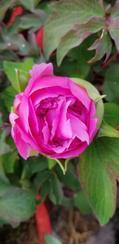室内观赏牡丹盆栽、春节牡丹花
