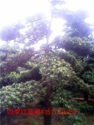 湖南绿化苗木罗汉松造型