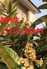 苏州别墅绿化果树,枇杷树,白沙,红沙,青种,白玉