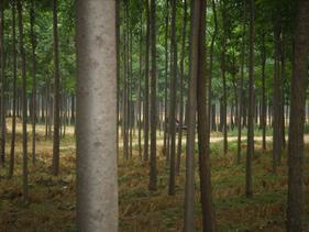 楸树|河南楸树|周口楸树基地|河南省周口市苗木基地中心