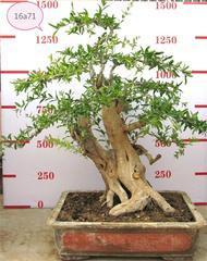 石榴古树盆景,石榴盆景栽培技术,石榴苗木,石榴树,净化空气,美化环境