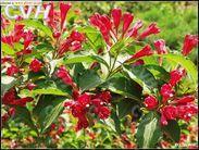 供应红王子锦带、锦带花,美国红王子锦带,江苏沭阳红王子锦带