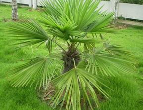 常绿乔木棕榈、紫叶李、四季桂花、夹竹桃、雪松、油松、黑松蜀桧