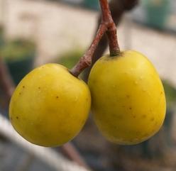 苦楝臭椿刺槐七叶树等种子