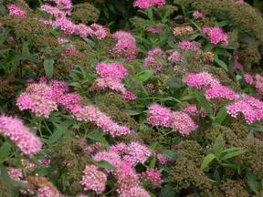 落叶灌木金焰绣线菊、红王子锦带、榆叶梅、云南黄馨、结香、杜鹃