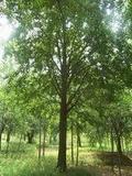 光辉银杏苗木培育基地出售银杏树、盆景
