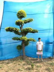 衡水德润景观 造型金叶榆/大型风景树/景观造型树