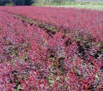 供应红叶小檗、紫叶小檗苗、江苏沭阳红叶小檗。红叶小檗基地