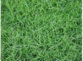 百慕大草种,狗牙根草种,美国进口种子,草坪种子,边坡绿化种子