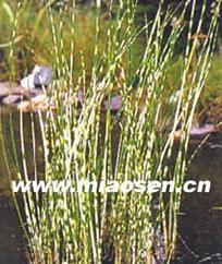 大量供应水生植物 睡莲 荷花 水葱 菖蒲