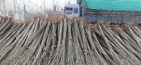 107杨树苗速生种条