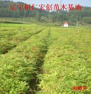 刺嫩芽小苗、刺嫩芽基地、桓仁刺嫩芽