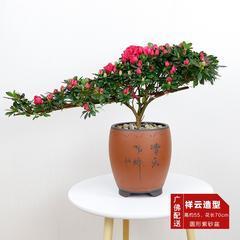 武汉植物基地供应软叶刺葵银海枣,植物景观庭院棕榈树热带树种