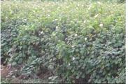 常年供应木芙蓉 玉龙草 红枫 樱花 红叶石楠