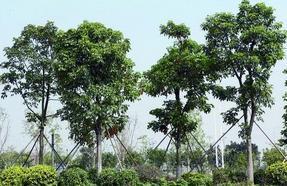朴树、龙爪槐、千头椿、三角枫、紫叶矮樱、丝棉木、榉树、无患子