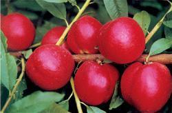 桃树苗畅销 栽植优质桃树树苗
