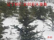 冷杉苗、冷杉树、冷杉基地、辽宁冷杉、桓仁冷杉