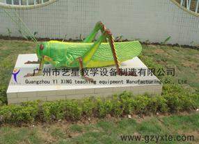 厂家直销节肢动物-蝗虫模型