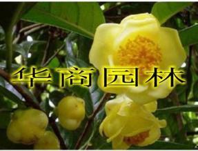 观赏用茶花【金茶花】,金茶花价格