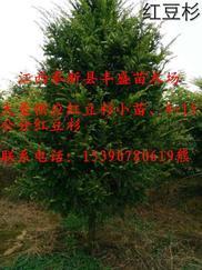 2-15公分红豆杉