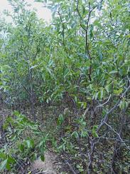枣树苗种植与管理